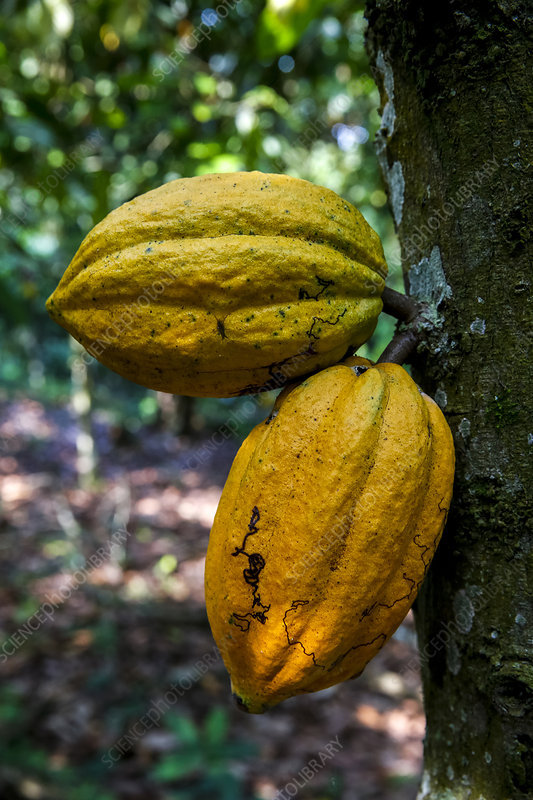 Ivory Coast Cocoa pods on tree