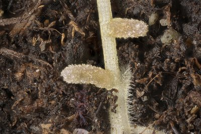 Rhizobium leguminosarum nodules on a plant root