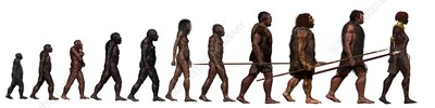 Stages in human evolution, illustration