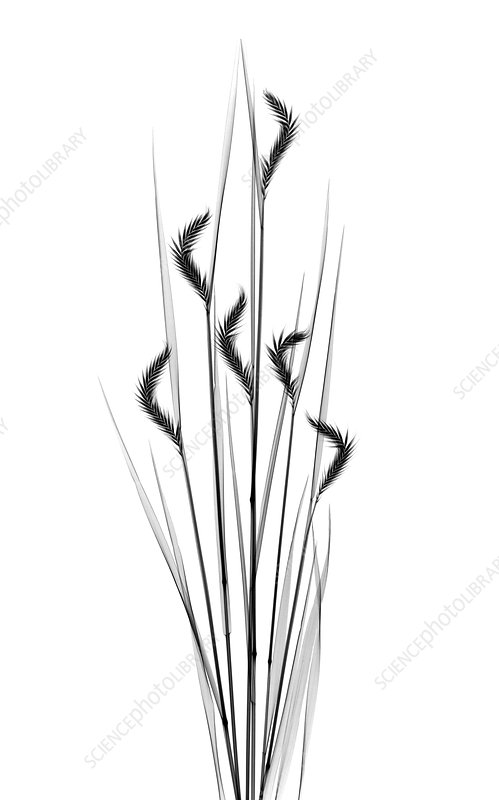 Grass plants, X-ray