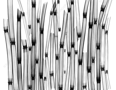 Horsetail plants, X-ray