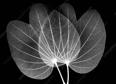 Orchid tree leaves, X-ray