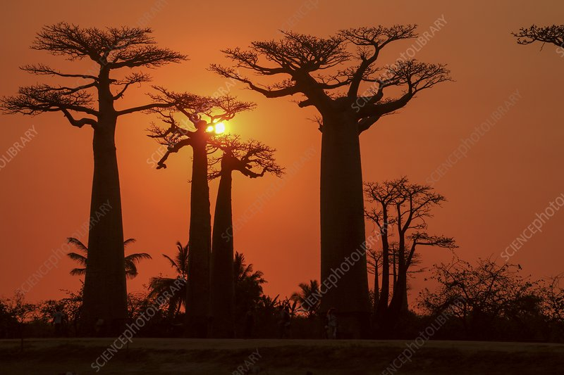 Baobab Avenue at sunset
