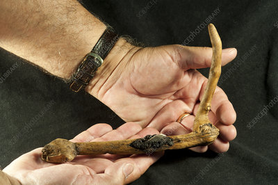 Wooden sickle excavated from La Draga Neolithic site