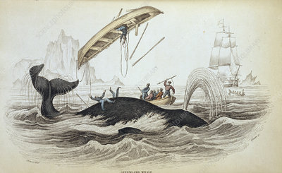 Bowhead whale and whalers, 19th century