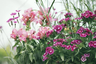 Carnation (Dianthus sp.) and Snapdragon (Antirrhinum sp.)