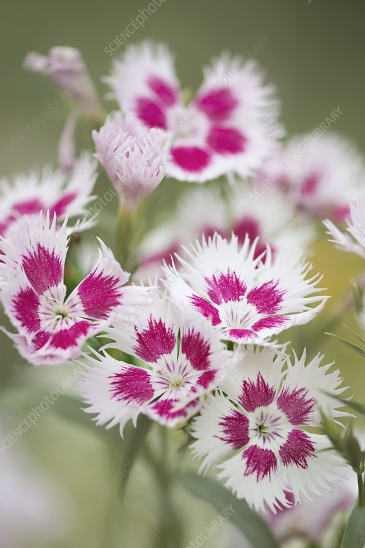 Carnation (Dianthus 'Rainbow Loveliness')
