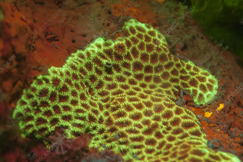 Fluorescent stony coral
