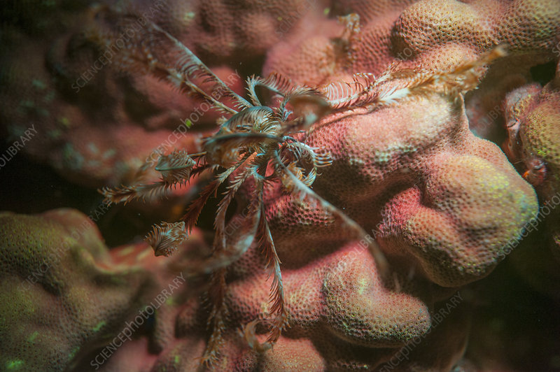Fluorescent feather star and stony coral