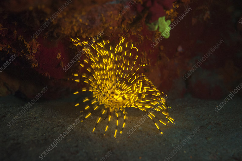 Fluorescent feather duster worm