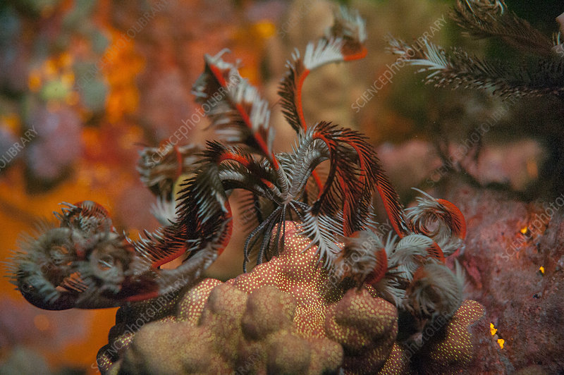 Fluorescent feather star
