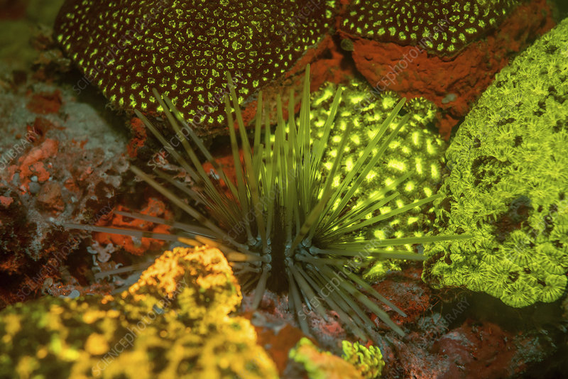 Sea urchin and fluorescent stony corals