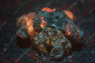 Anemone hermit crab with fluorescent anemones
