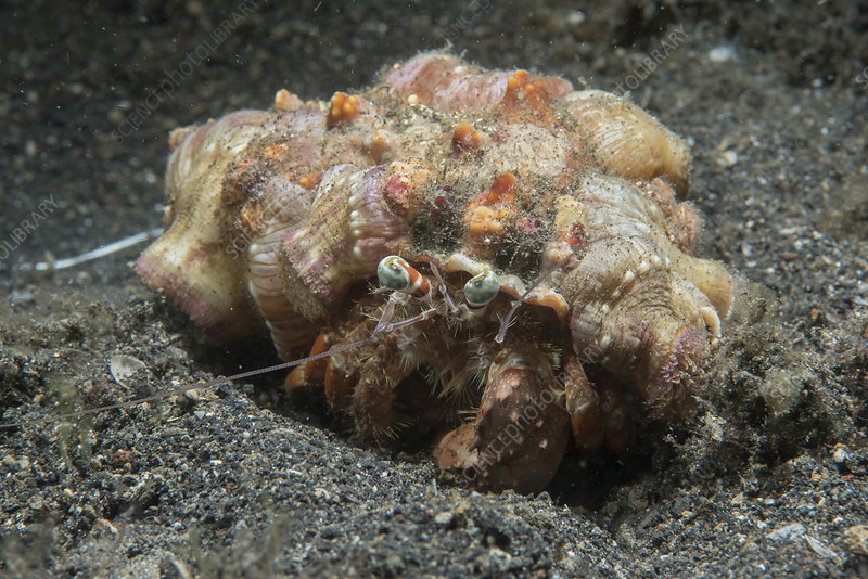 Anemone hermit crab covered in anemones