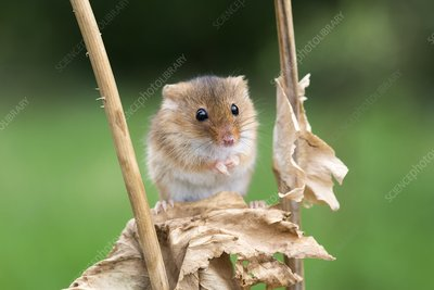 Harvest mouse on a plant stem, UK