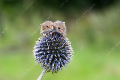 Harvest mice on flower, UK