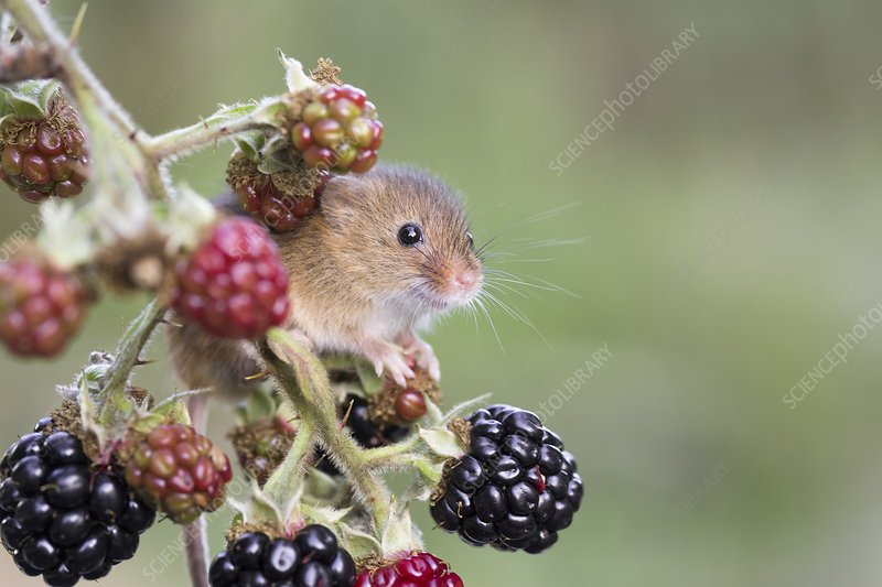 Harvest mouse on blackberries, UK
