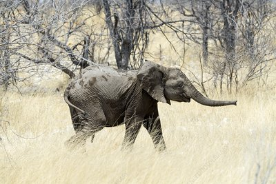African elephant in grassland
