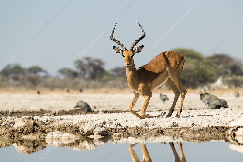Male impala at watering hole