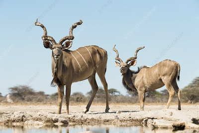 Male greater kudus at watering hole