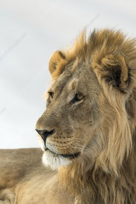 African lion head