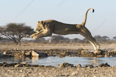 African lion jumping