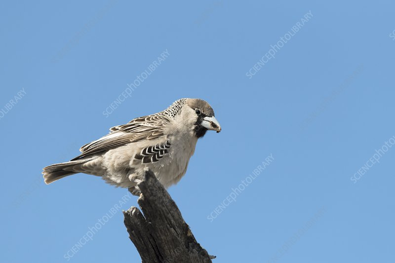 Sociable weaver perching