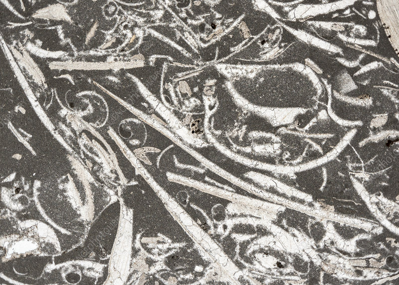Trochite limestone and fossils, light micrograph