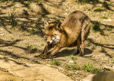 Adult red fox stretching
