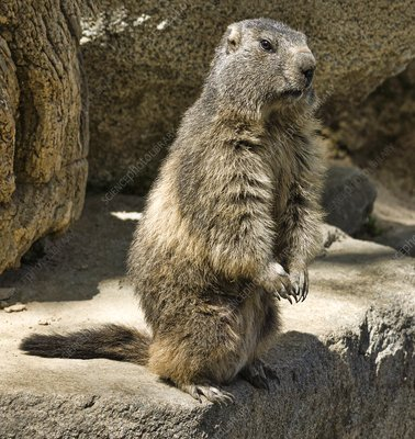 Adult marmot sitting up
