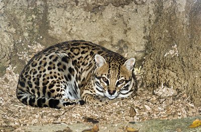 Ocelot in an artificial den