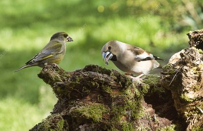 Hawfinch and greenfinch