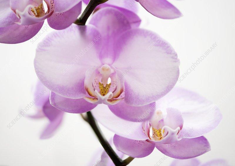 Orchid (Phalaenopsis Wen Ming Rainbow 'Fantastic')