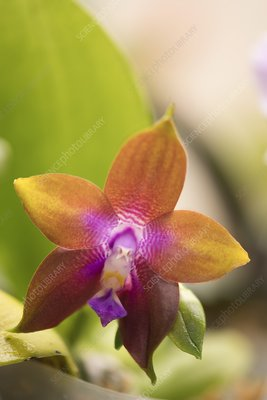 Orchid (Phalaenopsis Dragon Tree Eagle)