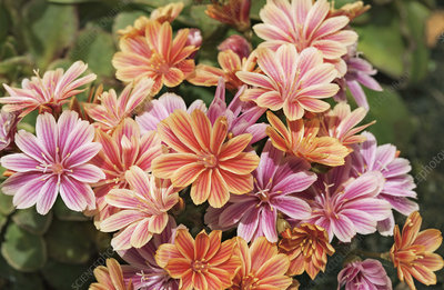 Lewisia 'Mountain Dreams'