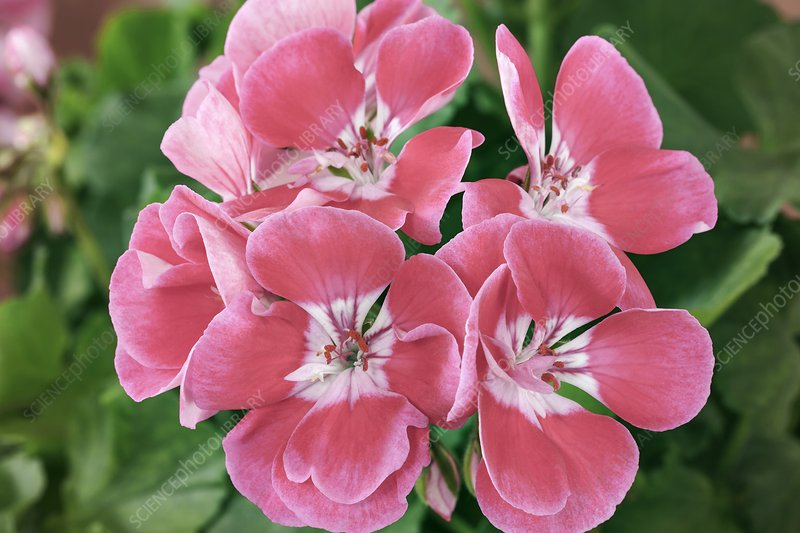 Geranium (Pelargonium 'Moonlight Vinetta')