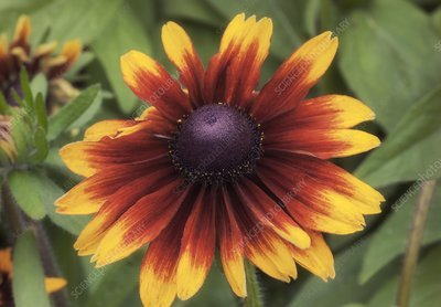 Black Eyed Susan (Rudbeckia hirta 'Orange Fudge')