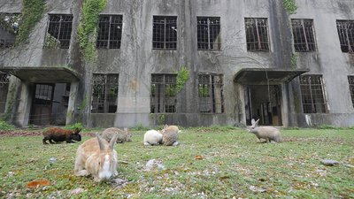 Rabbits in ruins of WW2 mustard gas factory, Japan