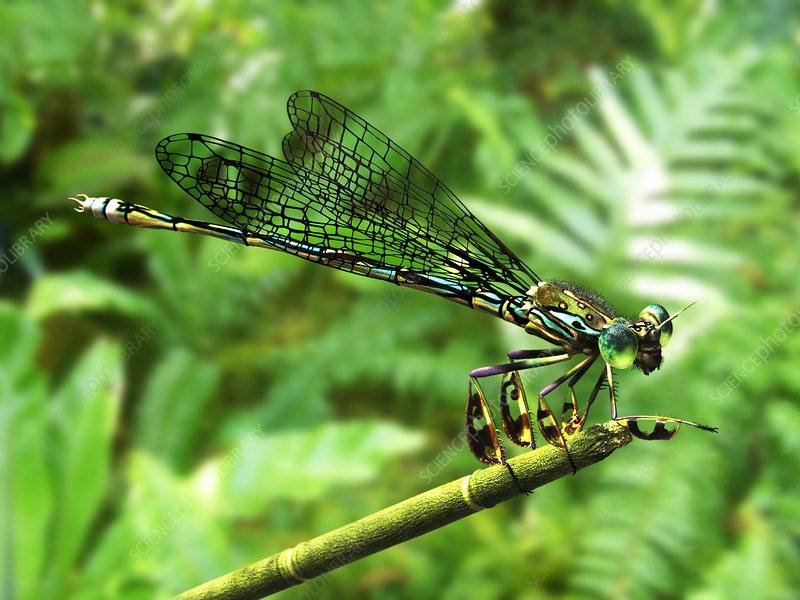 Prehistoric damselfly, illustration