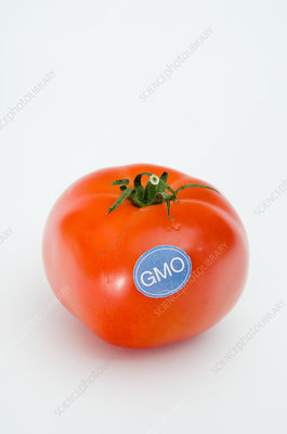 Genetically Modified Produce, Tomato