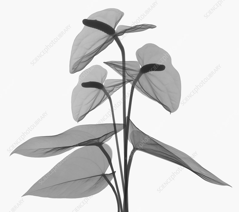 Anthurium Flower, X-ray