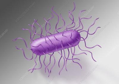 E. coli Bacteria, Illustration