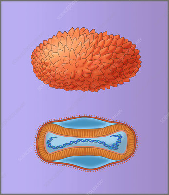 Smallpox Virus, Illustration
