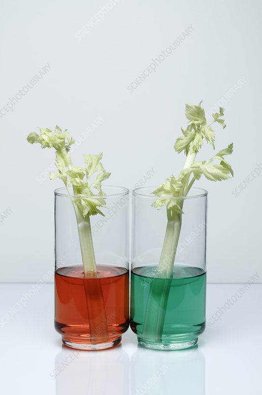 Transpiration in Celery, 1 of 2