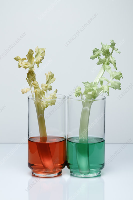 Transpiration in Celery, 2 of 2
