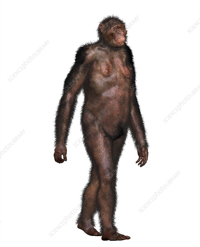 Australopithecine Lucy, illustration