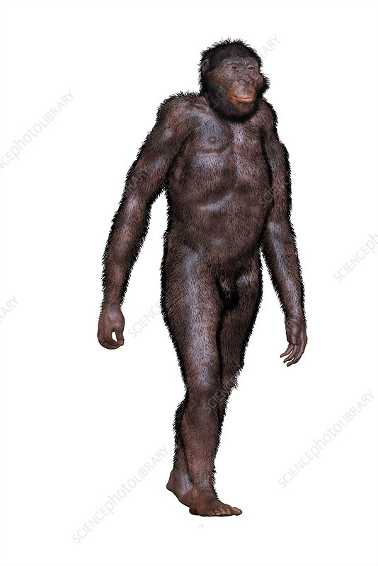 Australopithecus africanus, illustration - Stock Image - C039/1551 -  Science Photo Library
