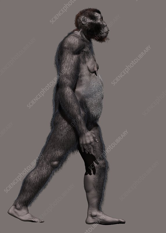Paranthropus robustus, illustration