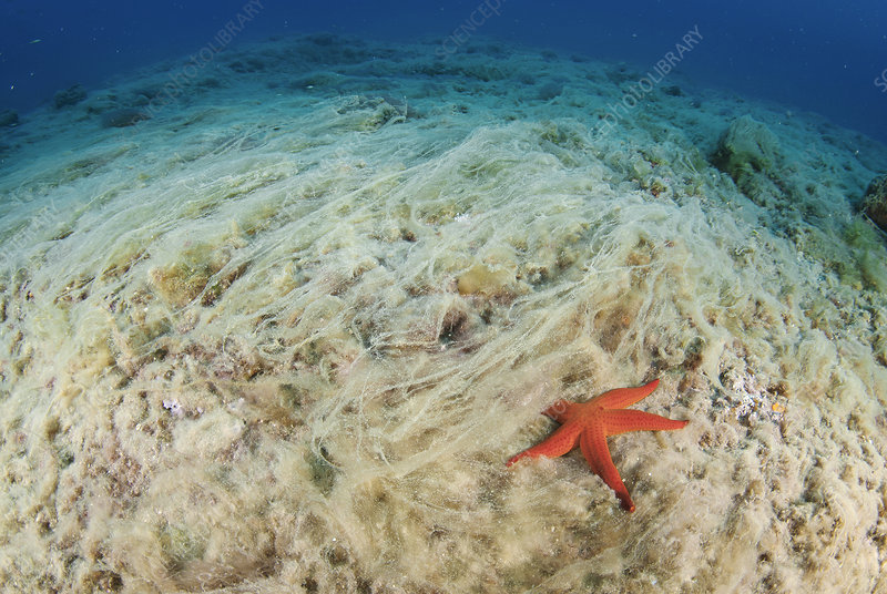 Hacelia starfish and algal growth