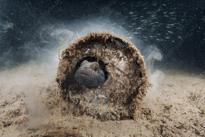 Fish sheltering in marine waste